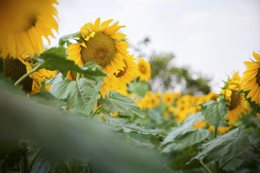 slunečnice páskatá